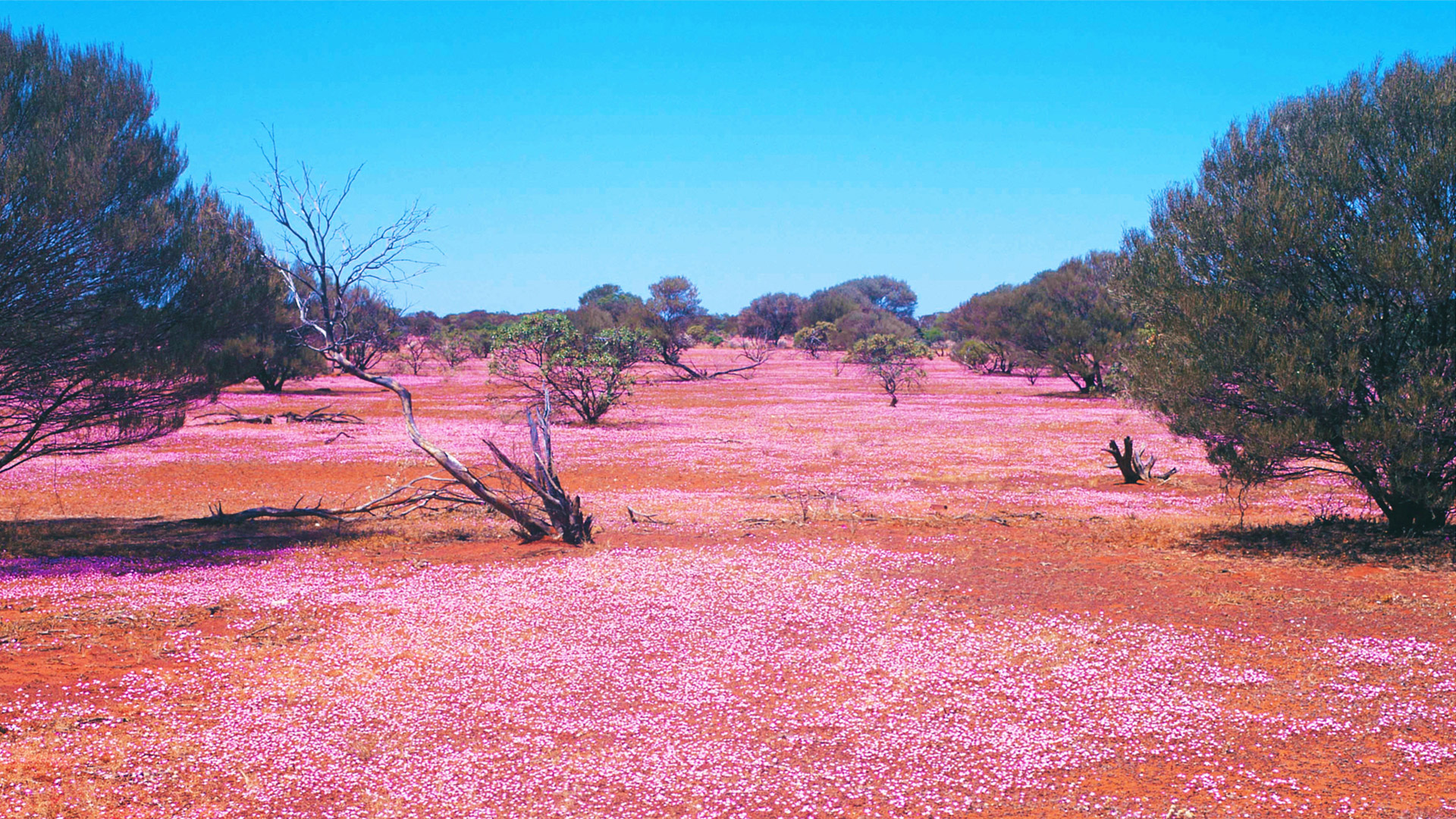 Field of pink wildfowers in the outback